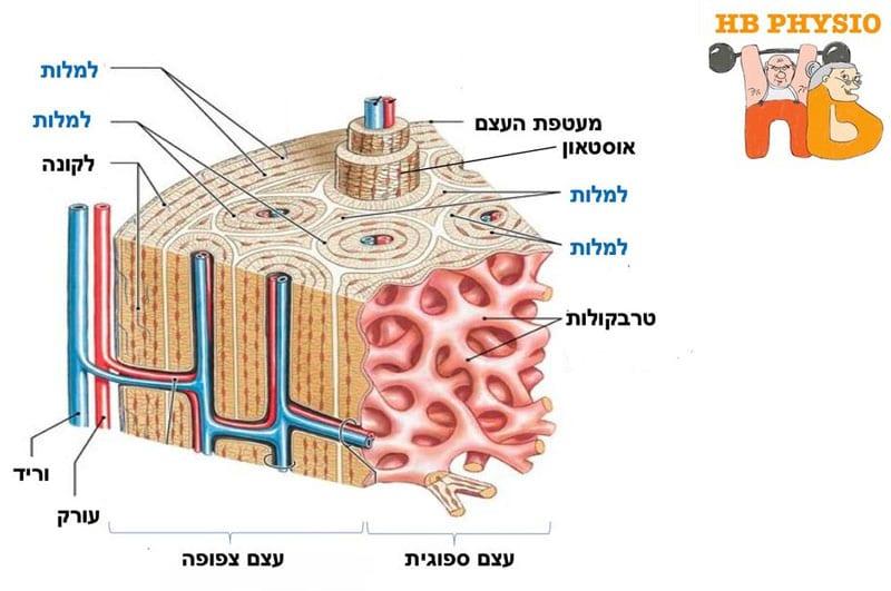 מבנה-העצם